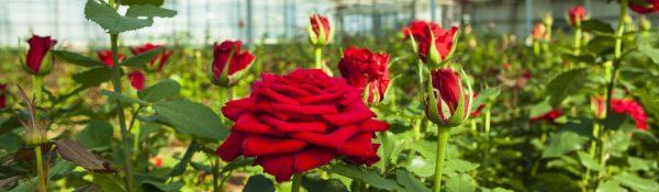 Gerber Fresh - Roses