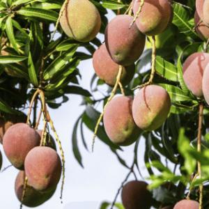 Gerber Fresh - Mango